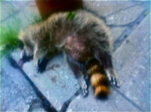 Pan Am games are on in Toronto & the drug dealers have to speed in their cars at night to make deliveries...Casualty of soccer is this raccoon boy tike, his father was found dead earlier in the day...