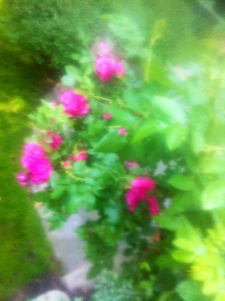 Roses in My Mum's garden...
